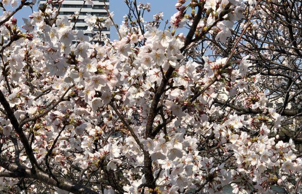 桜の花が満開!